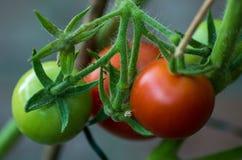 Tomates s'élevant dans le jardin Images stock