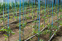 Tomates s'élevant en serre chaude Photo stock
