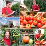 Tomates s'élevant en serre chaude - collage Photographie stock libre de droits