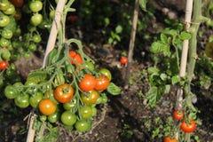 Tomates s'élevant sur la vigne Image libre de droits
