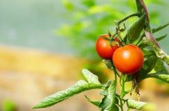 tomates s'élevant sur une branche en serre chaude Image stock