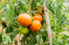 Tomates sur la branche Photos stock
