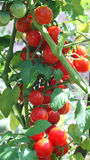 Tomates sur la vigne Photo stock
