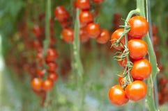 Tomates sur la vigne Photographie stock libre de droits