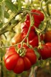 Tomates sur une branche dans le jardin photo stock