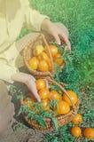 Tomates toujours jaunes sur l'élevage sur un buisson Images libres de droits