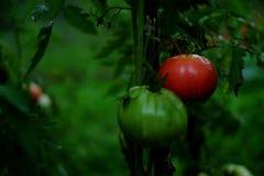 Tomates, um vermelho e um verde fotos de stock royalty free