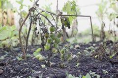 Tomates Unripe Fotos de Stock Royalty Free