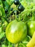 Tomates vívidos verdes foto de stock royalty free