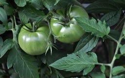 Tomates verdes fotos de stock royalty free