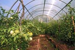 Tomates verdes foto de archivo libre de regalías