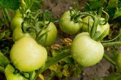 Tomates verdes Imágenes de archivo libres de regalías