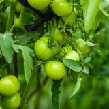 Tomates verdes Fotos de archivo