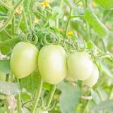 Tomates verdes Fotos de archivo libres de regalías