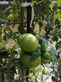 Tomates-verdes Stockfoto