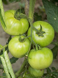 Tomates verdes Imagen de archivo libre de regalías