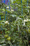 Tomates verdes Foto de archivo