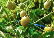 Tomates verdes Fotografia de Stock