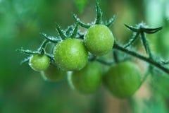 Tomates verdes Fotografía de archivo libre de regalías