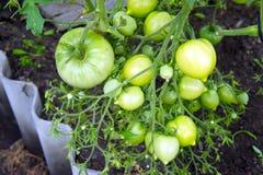 Tomates verdes de la rama en el invernadero fotos de archivo