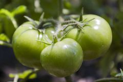 Tomates verdes ecológicos naturales Imágenes de archivo libres de regalías
