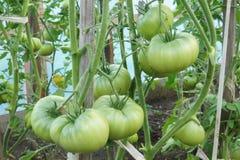 Tomates verdes em uma cama do jardim Imagens de Stock Royalty Free