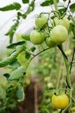 Tomates verdes em uma filial Fotos de Stock