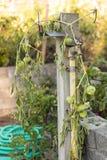 Tomates verdes em uma videira imagens de stock