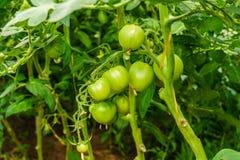 Tomates verdes en el invernadero Foto de archivo