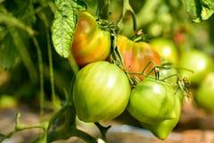 Tomates verdes en el jardín Imagen de archivo
