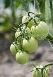Tomates verdes en invernadero Fotografía de archivo