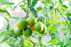 Tomates verdes en la planta de tomate Imágenes de archivo libres de regalías