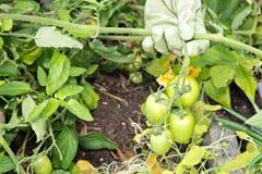 Tomates verdes en la vid Fotografía de archivo libre de regalías