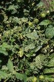 Tomates verdes en un arbusto bajo Imagen de archivo libre de regalías
