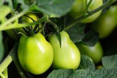 Tomates verdes en un huerto farming Fondo del huerto primer imagen de archivo libre de regalías
