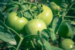 Tomates verdes en una planta imagen de archivo