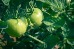 Tomates verdes en una planta imagenes de archivo