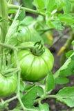 Tomates verdes en una ramificación Tomates inmaduros grandes que crecen en un jardín al aire libre Horticultura primer imagen de archivo