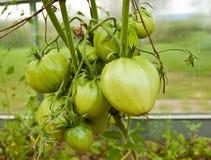 Tomates verdes enormes Fotografia de Stock