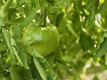 Tomates verdes jovenes los almácigos del tomate colocaron en la primavera Veh?culos en el jard?n fotografía de archivo libre de regalías