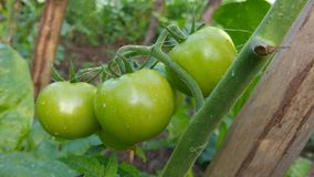 Tomates verdes na árvore Fotos de Stock