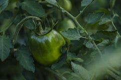 Tomates verdes na árvore do tomate Fotografia de Stock