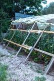Tomates verdes na estufa caseiro Fotos de Stock Royalty Free