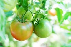 Tomates verdes naturales en rama Fotografía de archivo