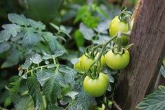 Tomates verdes no jardim fotos de stock