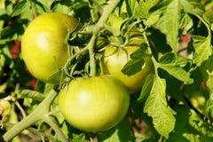 Tomates verdes no sol imagem de stock royalty free