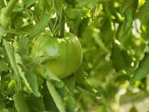 Tomates verdes novos as plântulas do tomate estabeleceram na primavera Vegetais no jardim fotografia de stock royalty free