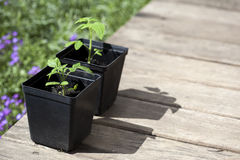 Tomates verdes, novos da plântula Fotos de Stock
