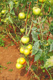 Tomates verdes novos frescos fotografia de stock