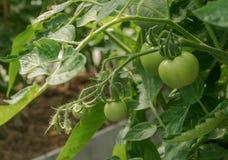 Tomates verdes O conceito da agricultura Tomates de amadurecimento em uma estufa estação dos vegetais imagem de stock